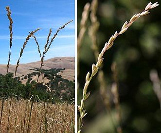 Melica californica