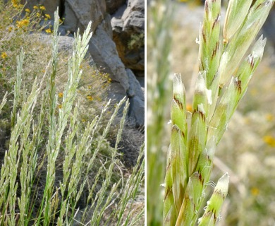 Melica frutescens