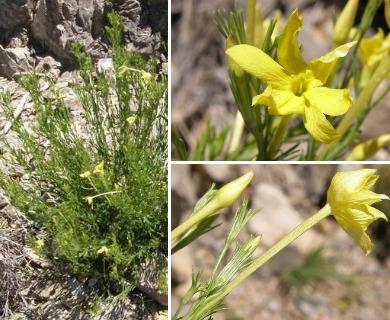 Menodora longiflora