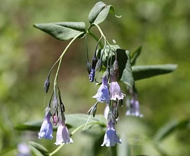 Mertensia arizonica