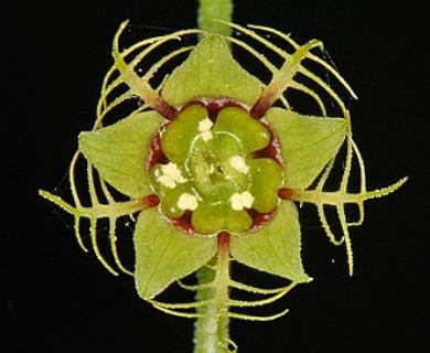 Mitellastra caulescens