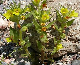Mohavea breviflora
