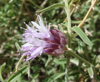 Monardella robisonii