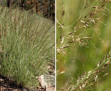 Muhlenbergia tenuifolia