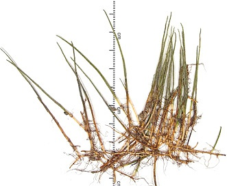 Myriophyllum tenellum