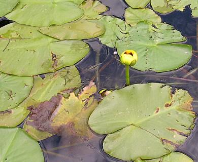 Nuphar variegata