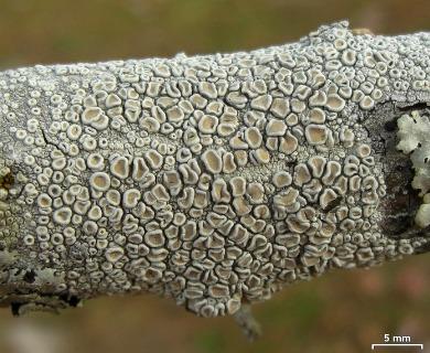 Ochrolechia africana