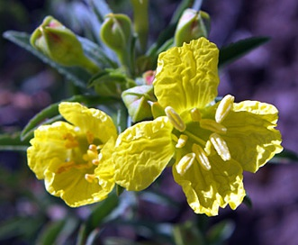 Oenothera serrulata