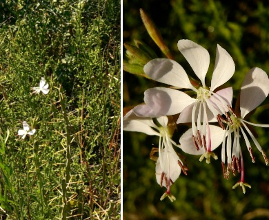 Oenothera suffulta