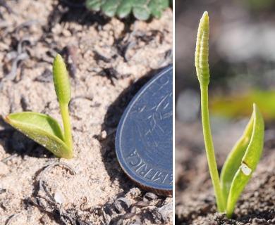 Ophioglossum californicum