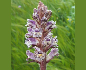 Orobanche minor