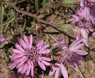 Palafoxia sphacelata