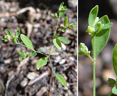 Paronychia canadensis