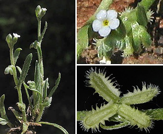 Pectocarya linearis