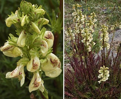 Pedicularis contorta