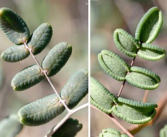 Pellaea andromedifolia
