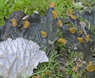 Peltigera membranacea