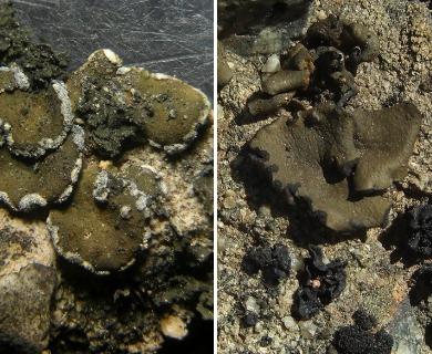 Peltula euploca