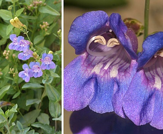 Penstemon azureus