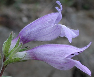 Penstemon glandulosus