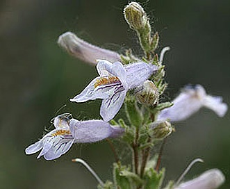 Penstemon gracilis