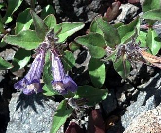 Penstemon harbourii
