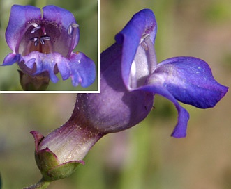 Penstemon incertus