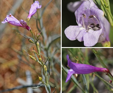 Penstemon sepalulus