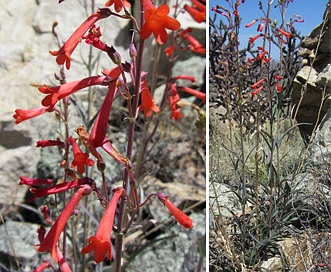 Penstemon subulatus