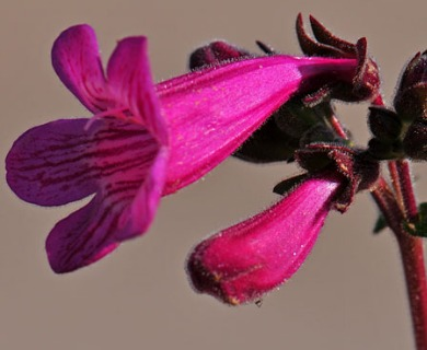 Penstemon triflorus
