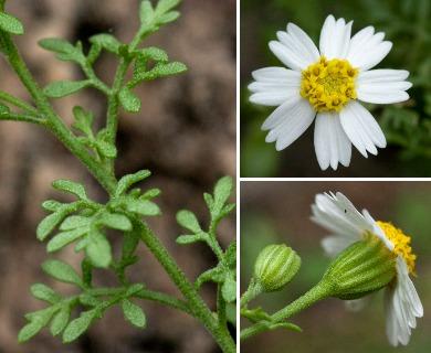 Perityle coronopifolia