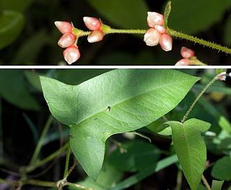 Persicaria arifolia