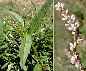 Persicaria bicornis