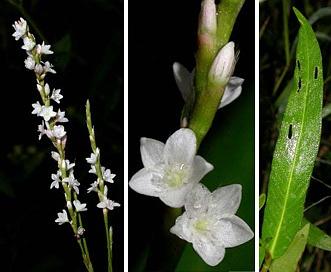 Persicaria hydropiperoides
