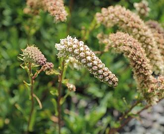 Petrophytum cinerascens
