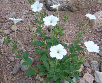 Petunia axillaris