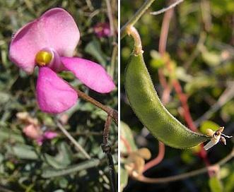 Phaseolus filiformis