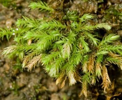 Philonotis marchica