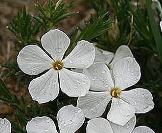 Phlox andicola