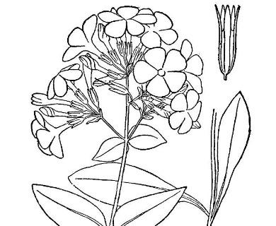 Phlox latifolia