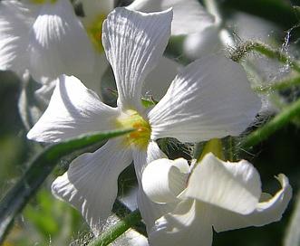 Phlox tenuifolia