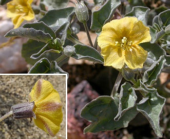 Physalis crassifolia