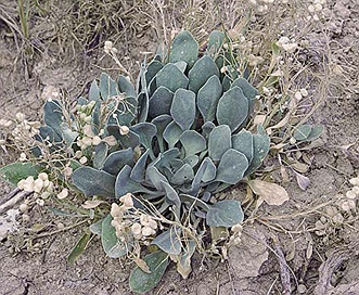 Physaria brassicoides