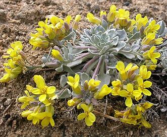 Physaria montana