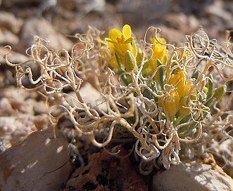 Physaria reediana
