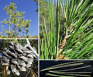 Pinus leiophylla