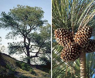 Pinus torreyana