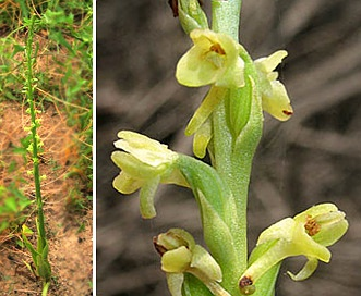 Piperia cooperi