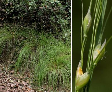 Piptochaetium fimbriatum