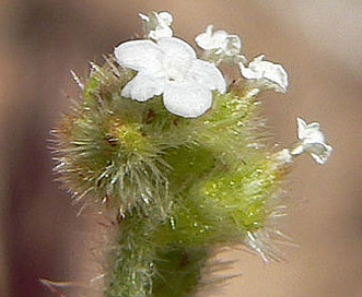 Plagiobothrys arizonicus